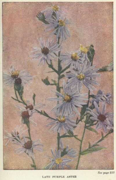 The project gutenberg ebook of wild flowers worth knowing by neltje blue aster fandeluxe Images