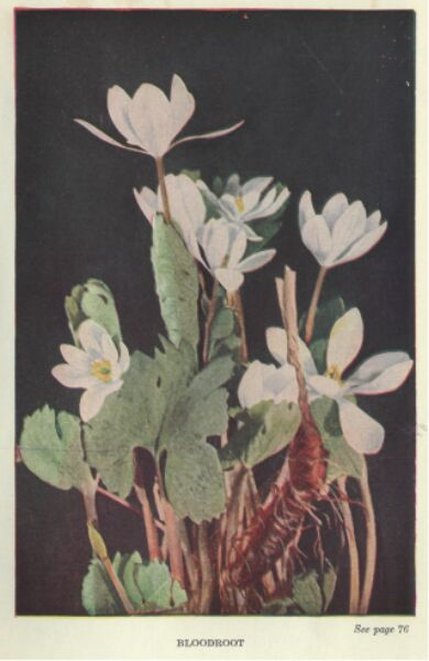 The project gutenberg ebook of wild flowers worth knowing by neltje bloodroot fandeluxe Images