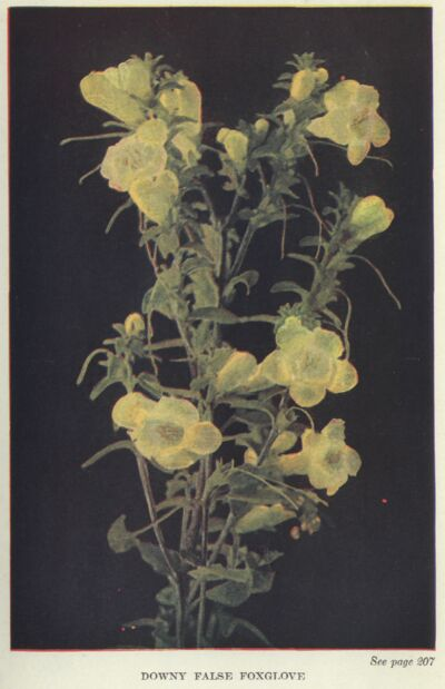 The project gutenberg ebook of wild flowers worth knowing by neltje false foxglove fandeluxe Images